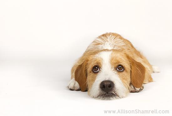 Allison Shamrell dog photography 6