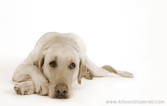 Allison Shamrell dog photography 7
