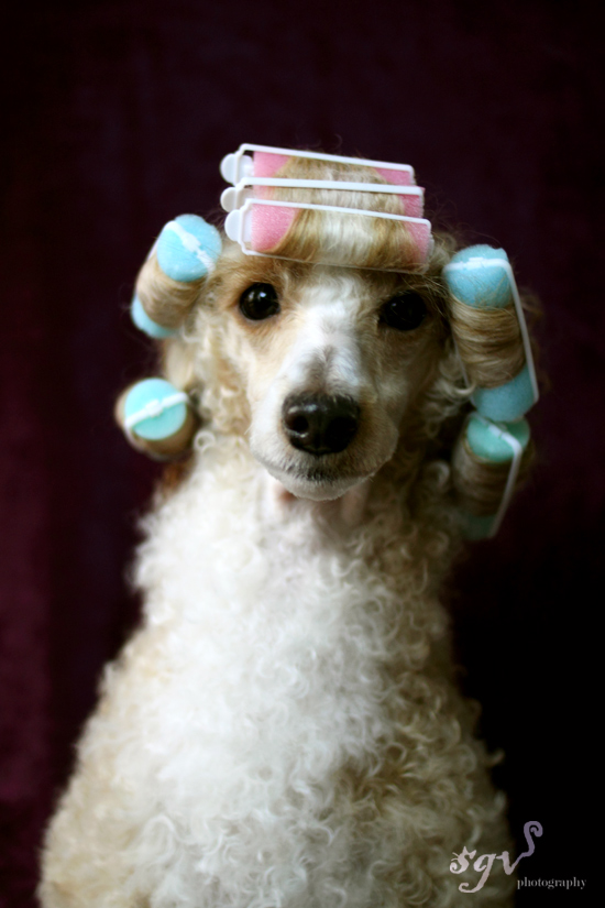 sgv_poodle_curlers_web