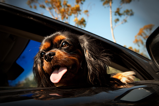Dogs-in-cars-2
