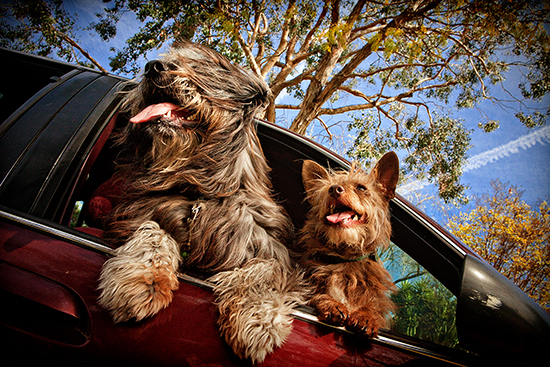Dogs-in-cars-3