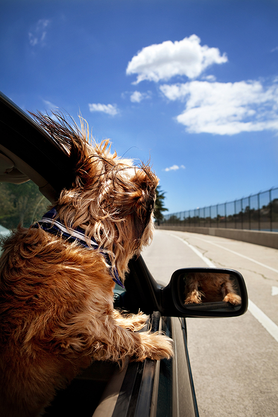 dogs-in-cars-8