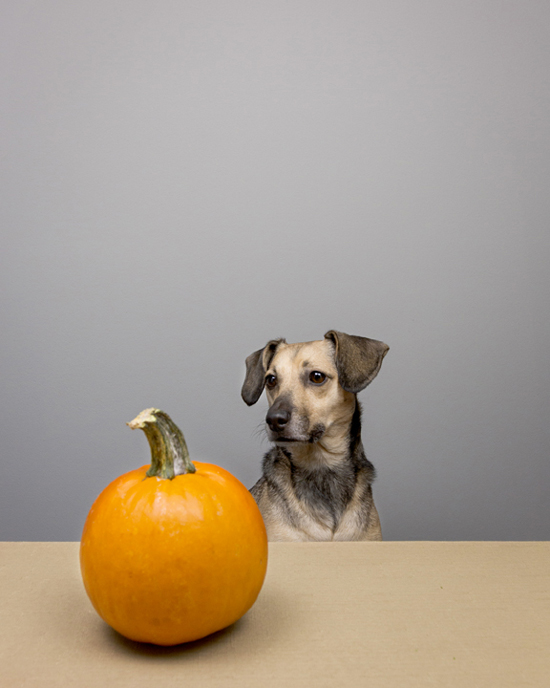 Pawsh-pumpkins-for-dogs