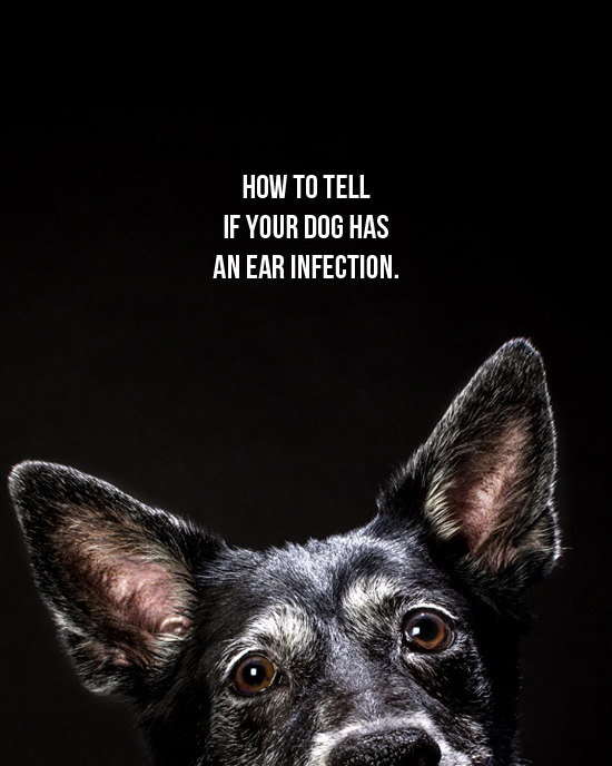 pawsh-magazine-dog-ear-infection-1