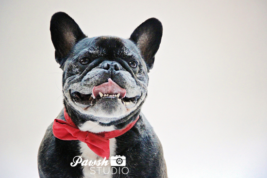 Pawsh-Studio-Toronto-Dog-Photographer-Christmas-dog-1