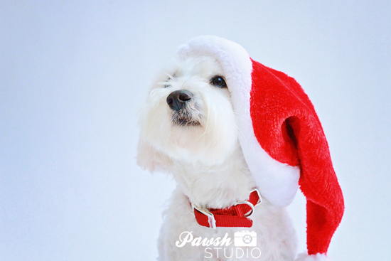 Pawsh-Studio-Toronto-Dog-Photographer-Christmas-dog-5