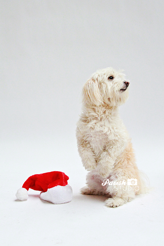 Pawsh-Studio-Toronto-dog-photographer-Christmas-dog-10