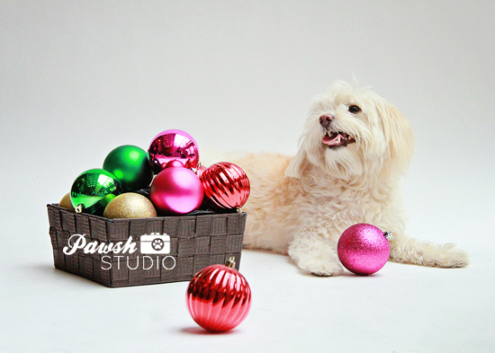 Pawsh-Studio-Toronto-dog-photographer-Christmas-dog-11
