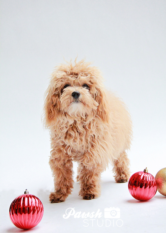 Pawsh-Studio-Toronto-dog-photographer-Christmas-dog-13
