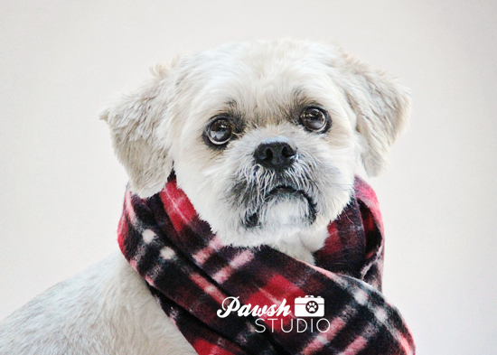 Pawsh-Studio-Toronto-dog-photographer-Christmas-dog-14