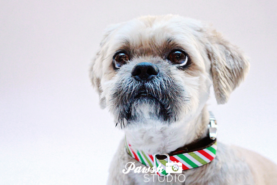 Pawsh-Studio-Toronto-dog-photographer-Christmas-dog-15