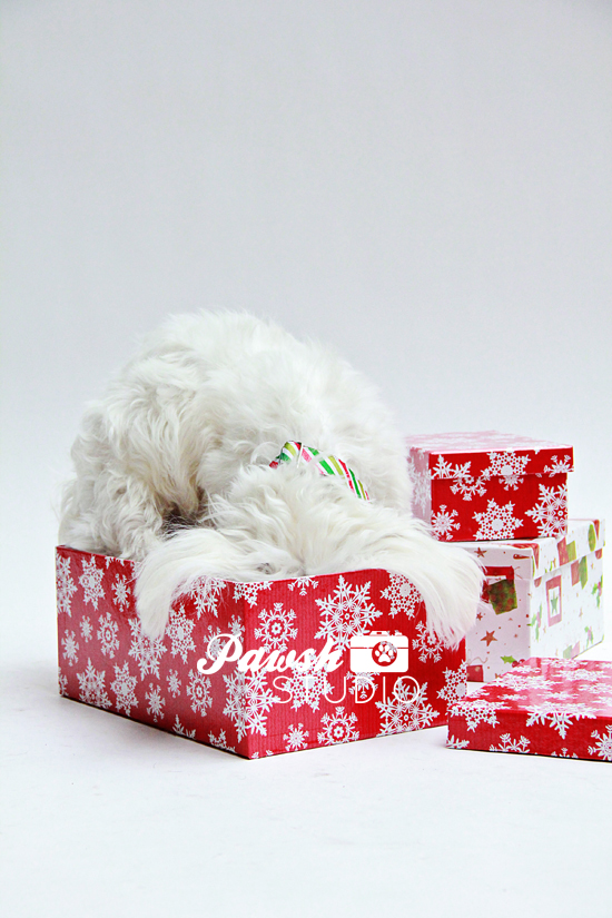 Pawsh-Studio-Toronto-dog-photographer-Christmas-dog-19