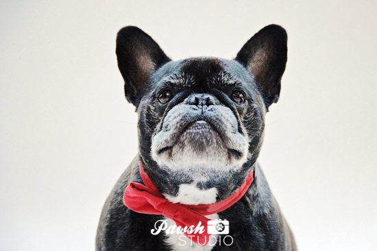 Pawsh-Studio-Toronto-dog-photographer-Christmas-dog-2
