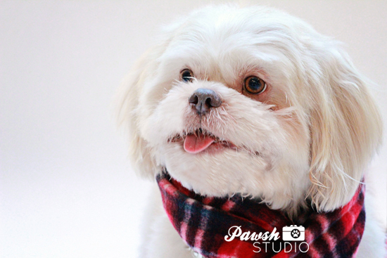 Pawsh-Studio-Toronto-dog-photographer-Christmas-dog-4