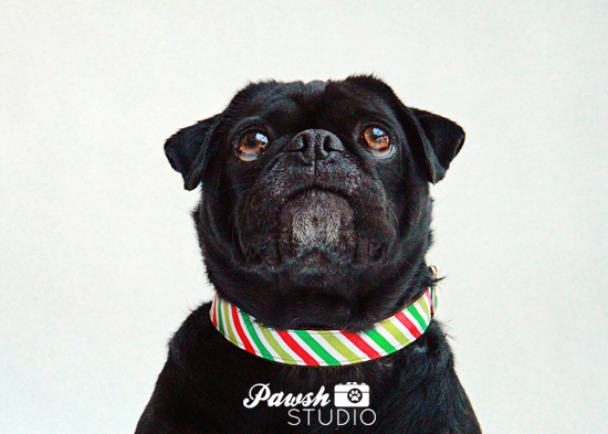 Pawsh-Studio-Toronto-dog-photographer-Christmas-dog-6