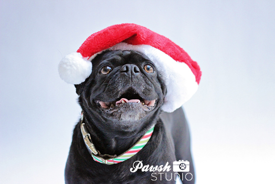 Pawsh-Studio-Toronto-dog-photographer-Christmas-dog-8