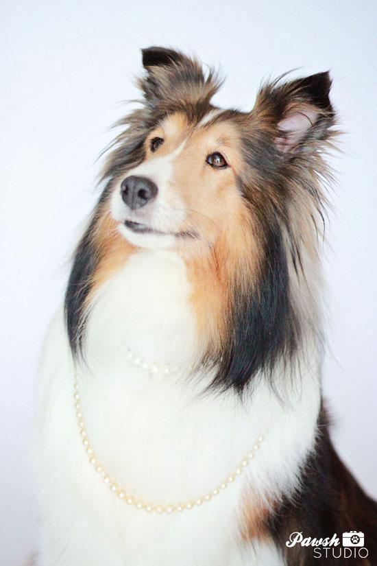 Toronto-Pet-Photographer-Pawsh-Studio-sheltie-2