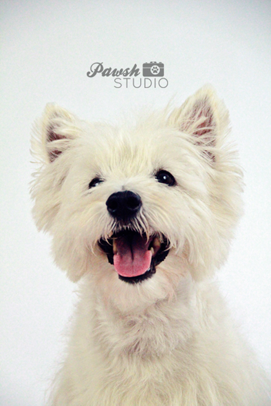 Pawsh-Magazine-and-Studio-Westie-1-550