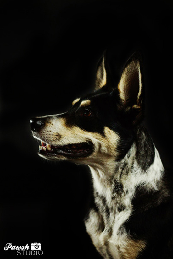 Toronto-dog-photographer-Pawsh-studio-shadow-dog-1