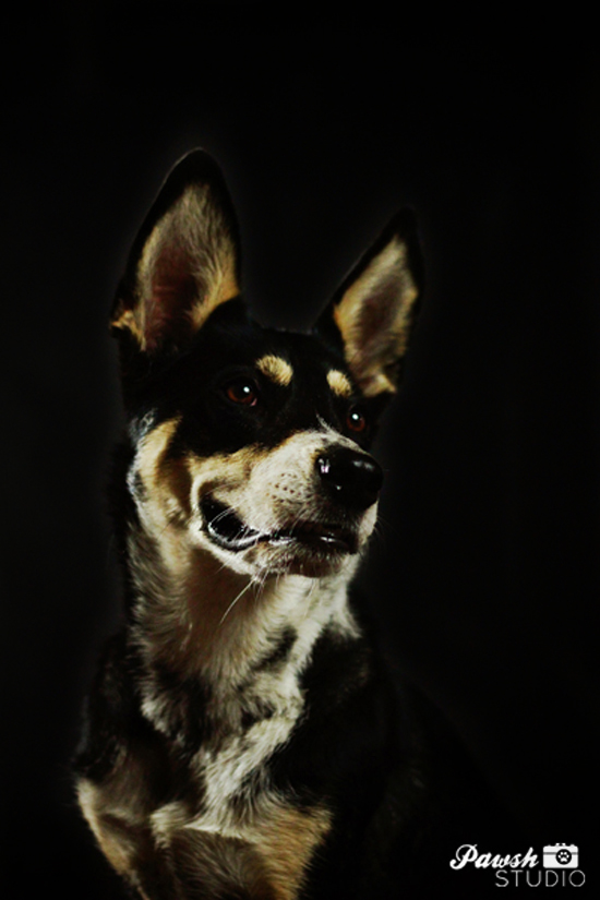 Toronto-dog-photographer-Pawsh-studio-shadow-dog-6