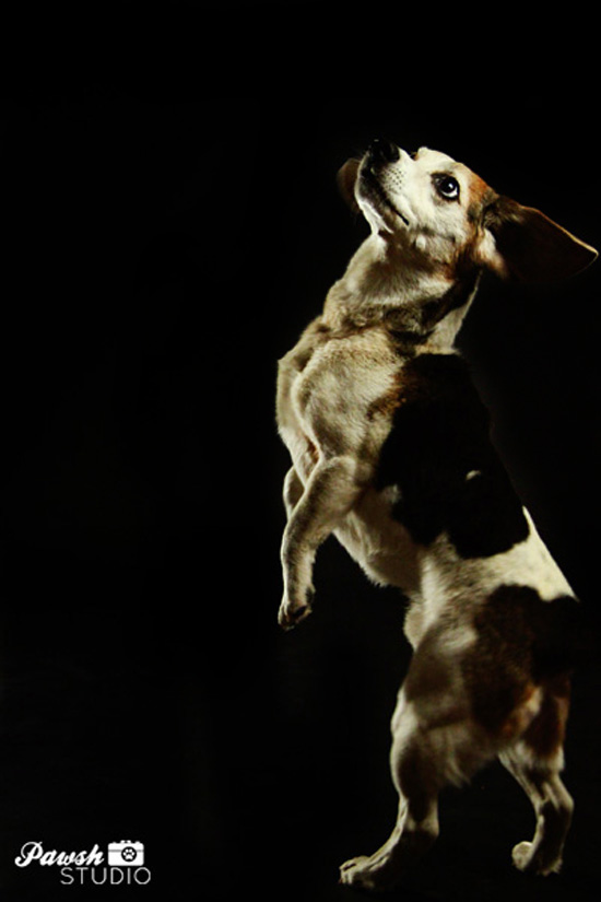 Toronto-pet-photographer-pawsh-studio-shadow-dog-4