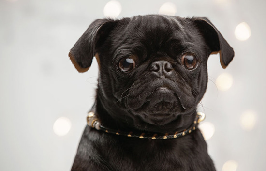 toronto-pet-photographer-sparkle-collection-collar