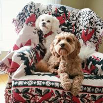 stylish-dog-magazine-poodles