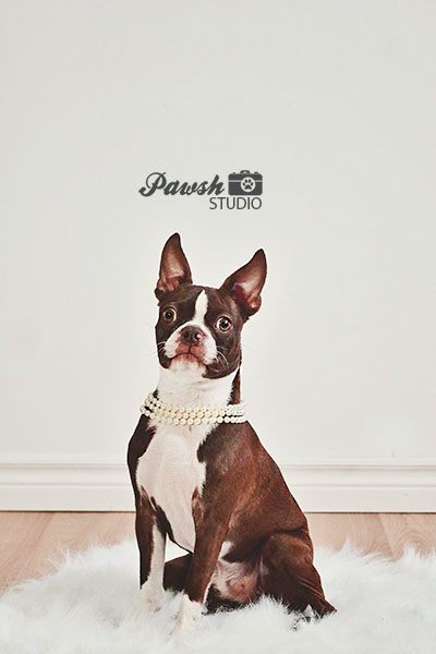 toronto-pet-photographer-boston-terrier-2-pawsh-studio