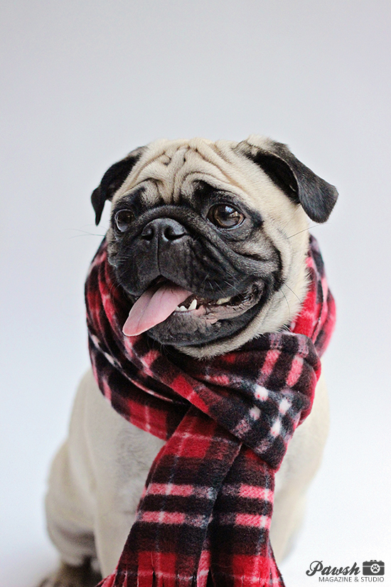 2015 Pugstock Dog Festival