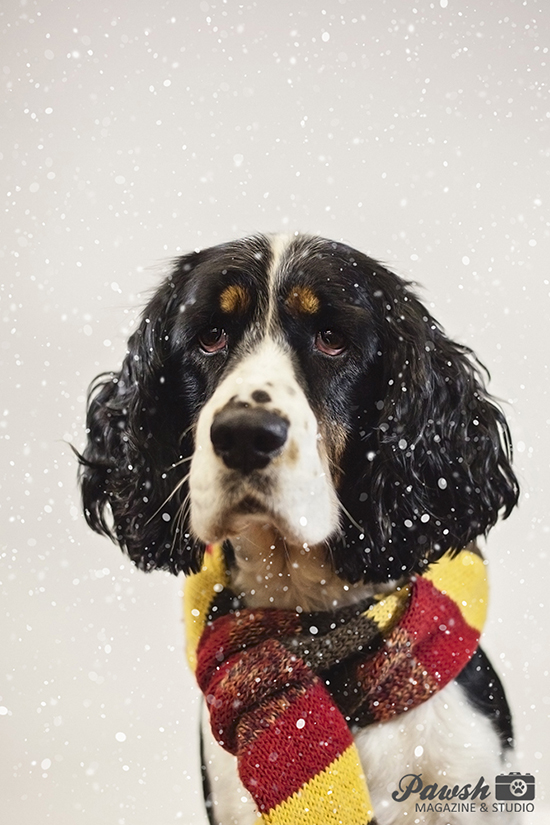 toronto holiday dog photography