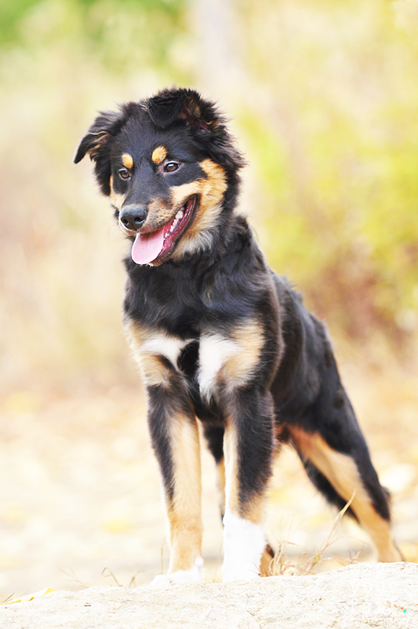 philadelphia-dog-photographer-austalian-shepherd-puppy-1