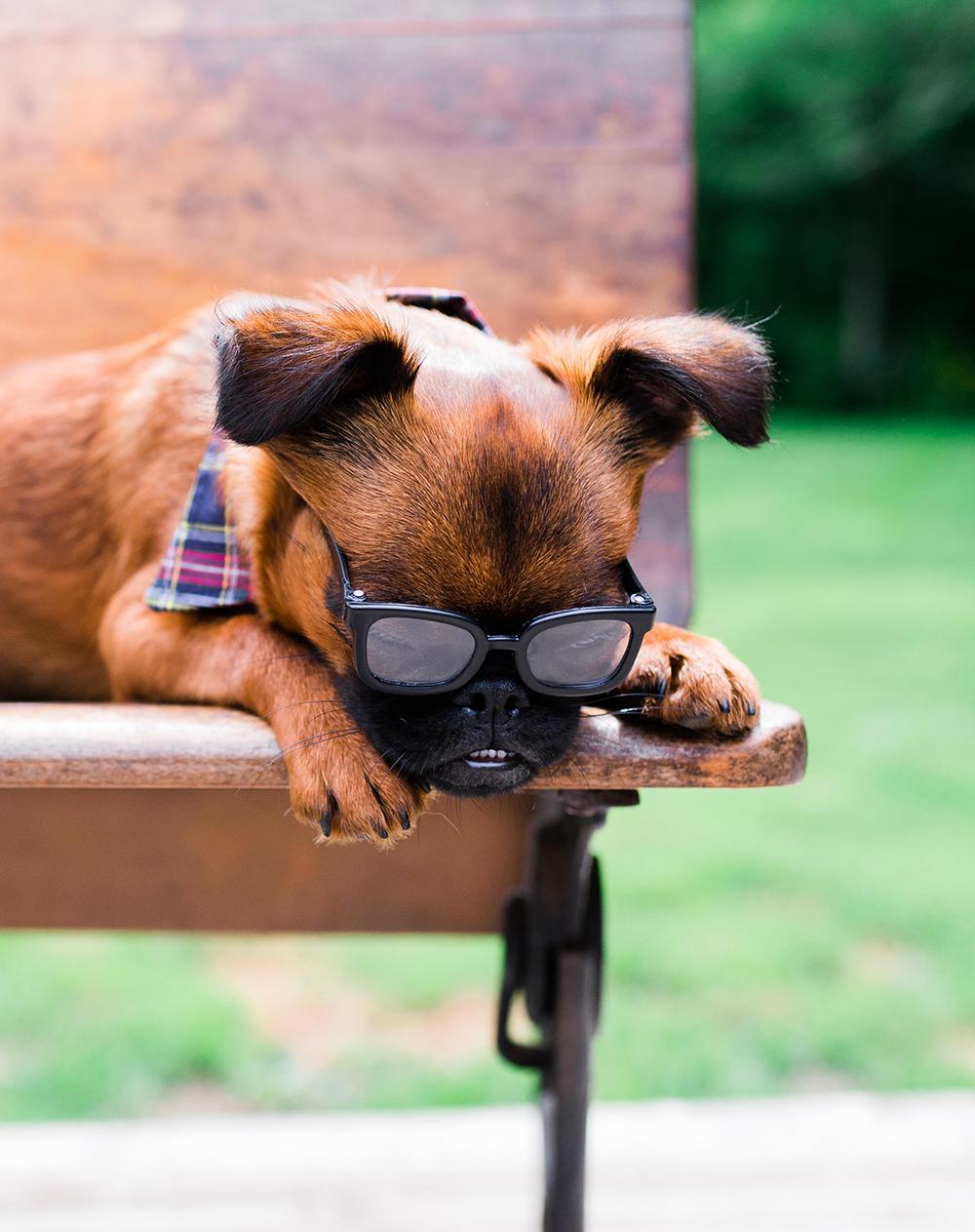brussels griffon puppy in sunglassees photo
