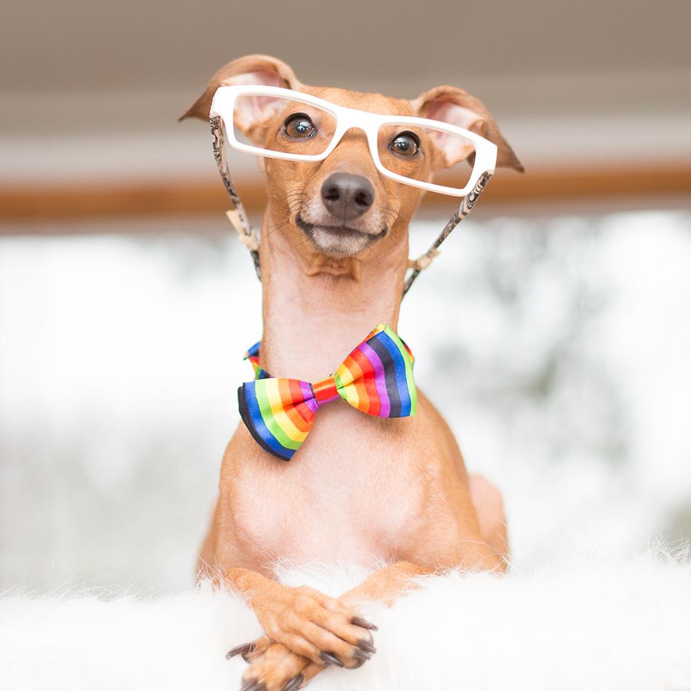 dog wearing sunglasses photography