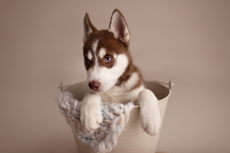 A Husky Puppy Newborn Photoshoot Pawsh Magazine A New Breed Of Dog Magazine